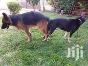 Adult Male Purebred German Shepherd Dog | Dogs & Puppies for sale in Greater Accra, Adenta Municipal