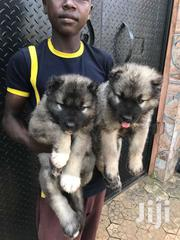 Pure Caucasian Shepherd Pups For Sale | Dogs & Puppies for sale in Greater Accra, East Legon
