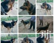German Shepherd Male for Crossing | Dogs & Puppies for sale in Greater Accra, Teshie new Town