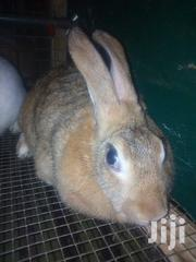 New Zealand Rabbit For Sale | Livestock & Poultry for sale in Greater Accra, Teshie new Town
