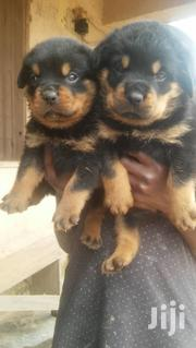 Rottweiler Puppys Available Now   Dogs & Puppies for sale in Greater Accra, Adenta Municipal
