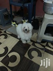 Female Maltese | Dogs & Puppies for sale in Greater Accra, Adenta Municipal