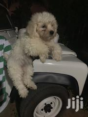 Baby Female Purebred Maltese | Dogs & Puppies for sale in Greater Accra, Adenta Municipal
