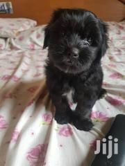 Pure Black Male Puddle Puppy Available Now   Dogs & Puppies for sale in Greater Accra, Adenta Municipal