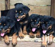 Rottweiler Purepred | Dogs & Puppies for sale in Central Region, Gomoa West