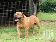 Pedigree Male Boerboel For Sale | Dogs & Puppies for sale in Greater Accra, Adenta Municipal