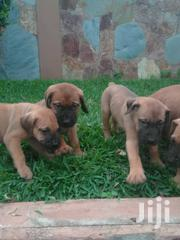 Boerbull Puppys Available Now Male And Female   Dogs & Puppies for sale in Greater Accra, Adenta Municipal
