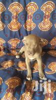 Pitbull For Sale | Dogs & Puppies for sale in East Legon, Greater Accra, Nigeria