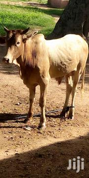 Healthy Cow For Sale | Other Animals for sale in Northern Region, Bole