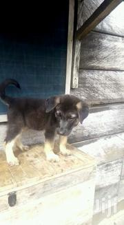 Full Breed Male German Shepherd Puppy | Dogs & Puppies for sale in Greater Accra, Airport Residential Area