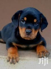 Rottweiler Puppies for Sale | Dogs & Puppies for sale in Greater Accra, Accra Metropolitan