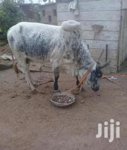 Cow For Sale | Livestock & Poultry for sale in Northern Region, Kpandai