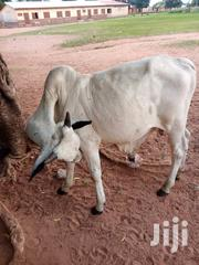 Big Cow For Sale   Livestock & Poultry for sale in Northern Region, Yendi