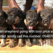 Young Female Purebred German Shepherd Dog | Dogs & Puppies for sale in Greater Accra, Ga South Municipal