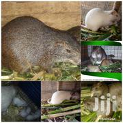 Life Grasscutter   Livestock & Poultry for sale in Greater Accra, Ledzokuku-Krowor