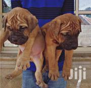 Bull Mastiff Puppies | Dogs & Puppies for sale in Greater Accra, Accra Metropolitan