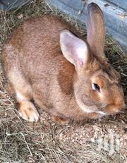 Matured Rabbits | Other Animals for sale in Greater Accra, Tema Metropolitan