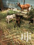 Goats For Sale | Other Animals for sale in Achimota, Greater Accra, Nigeria