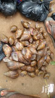 African Giant Snails For Sale | Livestock & Poultry for sale in Volta Region, Adaklu