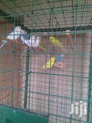 Budgies Parrot | Birds for sale in Greater Accra, Dansoman