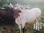 Cow For Sale | Livestock & Poultry for sale in Northern Region, Nanumba South