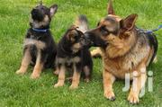 German Shepherd Puppies | Dogs & Puppies for sale in Greater Accra, Accra new Town
