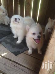 Pedigree Japanese Spitz Puppies For Sale | Dogs & Puppies for sale in Greater Accra, Adenta Municipal