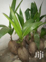 Hybrid Coconut Seedlings For Sale | Feeds, Supplements & Seeds for sale in Greater Accra, Achimota