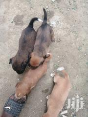 Local Healthy Puppies   Dogs & Puppies for sale in Greater Accra, Kwashieman
