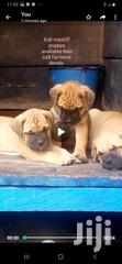 Bull Mastiff Puppys Available Now   Dogs & Puppies for sale in Adenta Municipal, Greater Accra, Nigeria