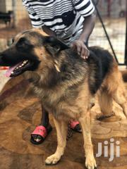 German Shepherd ( Crossing ) | Dogs & Puppies for sale in Greater Accra, Kwashieman
