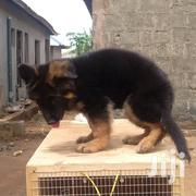 Slant Back German Shepherd Dog | Dogs & Puppies for sale in Greater Accra, Accra new Town