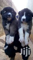Big Bone Caucasian Shepherd Dog   Dogs & Puppies for sale in Accra new Town, Greater Accra, Nigeria