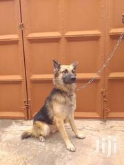 German Shepherd Dog For Crossing | Dogs & Puppies for sale in Greater Accra, Nungua East