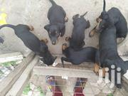 Boberman Dog | Dogs & Puppies for sale in Greater Accra, Adenta Municipal