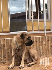 Pedigree Female Boerboel Very Fertile | Dogs & Puppies for sale in Greater Accra, East Legon