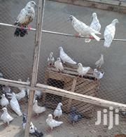 Pigeons For Sell At Fair Price | Birds for sale in Central Region, Assin South