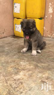 7 Weeks Female Caucasian Shepherd Puppy for Sale | Dogs & Puppies for sale in Greater Accra, Tema Metropolitan