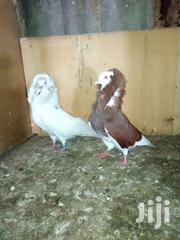 Capuchin Pigeon | Birds for sale in Ashanti, Kumasi Metropolitan