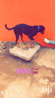 Rottweiler for Sale | Dogs & Puppies for sale in Greater Accra, Adenta Municipal
