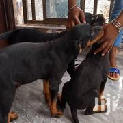 Adult Female Purebred Rottweiler | Dogs & Puppies for sale in Greater Accra, Ga South Municipal