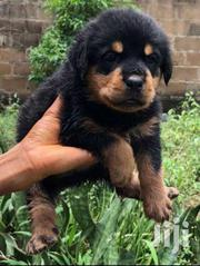 Pure Rottweiler Pups For Sale | Dogs & Puppies for sale in Greater Accra, Teshie-Nungua Estates