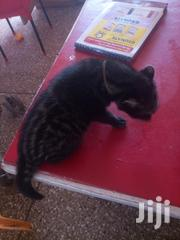 Baby Male Purebred Exotic | Cats & Kittens for sale in Ashanti, Mampong Municipal