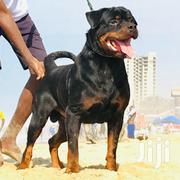 Imported Pedigree Male Rottweiler | Dogs & Puppies for sale in Greater Accra, Cantonments