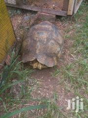 Giant Tortoise | Other Animals for sale in Greater Accra, Dansoman