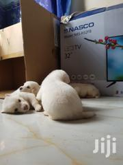 Cute Pupies for Sale | Dogs & Puppies for sale in Greater Accra, Ga East Municipal