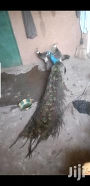 Pair Of Peafowls | Other Animals for sale in Greater Accra, Adenta Municipal