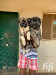 Caucasian Shepherd | Dogs & Puppies for sale in Greater Accra, Old Dansoman