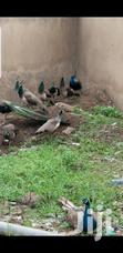 Pair Of Peafowls | Other Animals for sale in Adenta Municipal, Greater Accra, Ghana