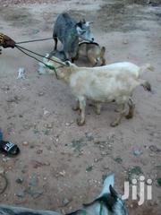 Goats For Sale   Other Animals for sale in Greater Accra, Achimota